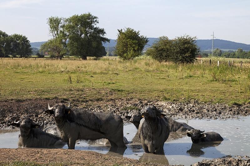 Wasserbüffel Bückeburger Niederung