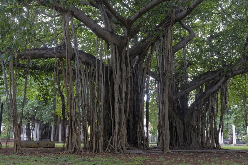 5533Sa-Baum-mit-Luftwurzeln-Havanna-Cuba