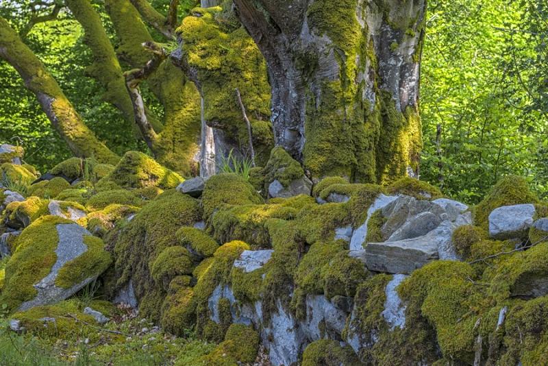 2014P alte Steinmauer mit Moos Wälder bei Sligo Nordwestirland