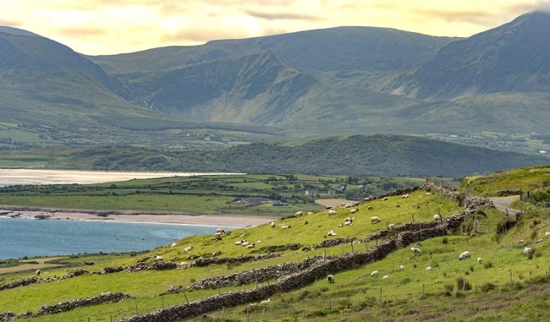 2360P Schafe mit Steinwällen Irland