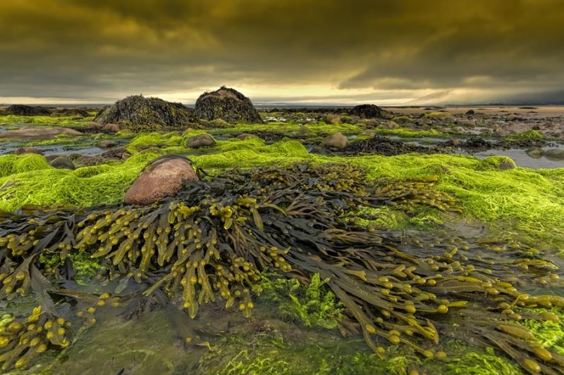 3194Sa Irland Tralee Bay Tralee Bay  Algen bei Ebbe