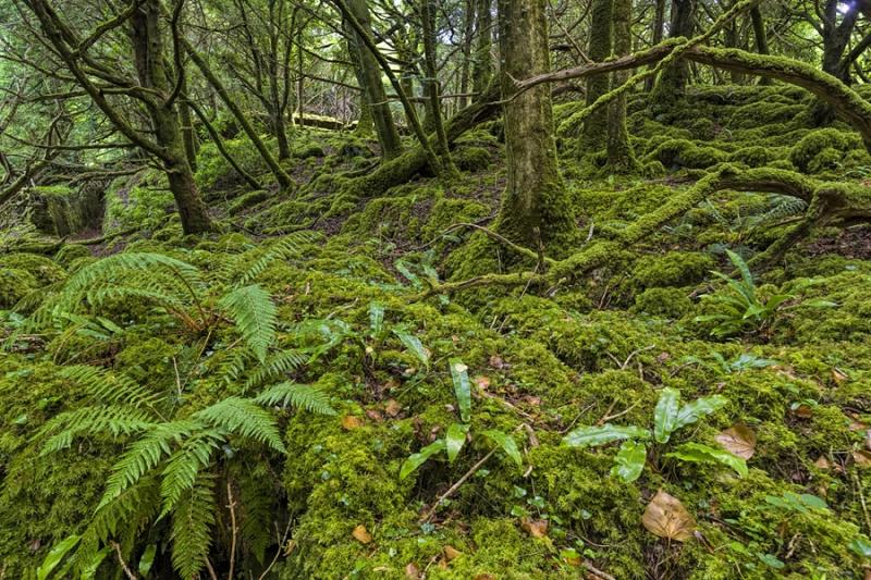 3468Sa Irland Nationalpark Killarney Moos im Wald