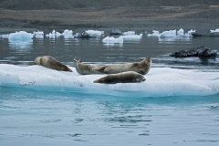 3055B-Seehunde-im-Gletschersee