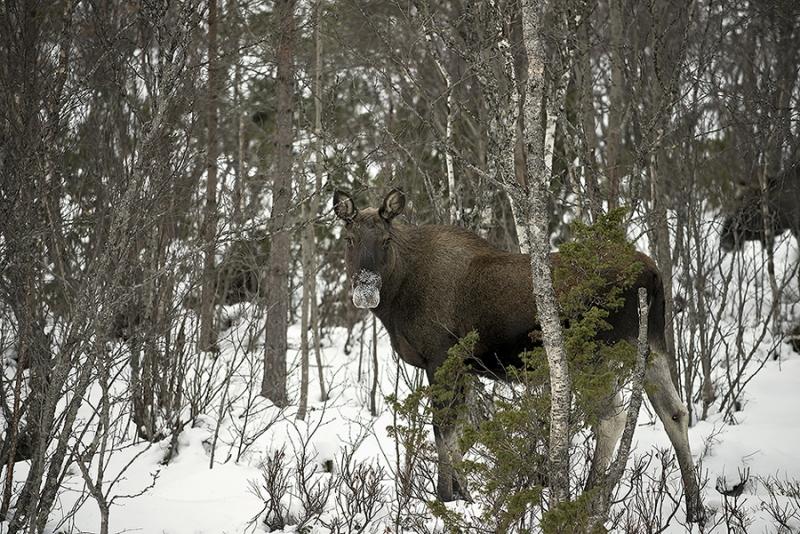 1341L-Elch-im-Wald-Norwegen-Winter