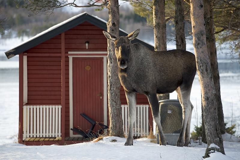 1894L-Elch-an-der-Hütte-Norwegen-im-Winter