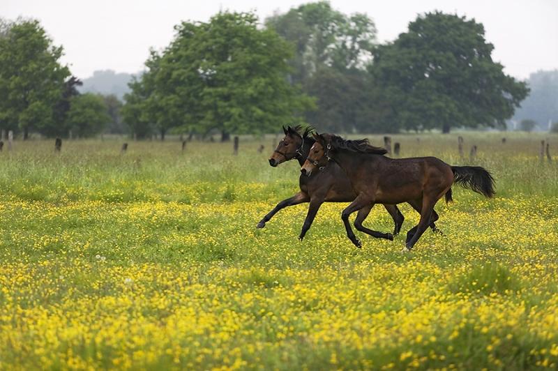 0475C-laufende-Pferde-auf-Frühlingswiese