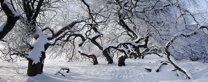 9956-59D-Süntelbuchenwald-im-Winter-Panorama