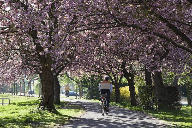 Kirschblüte in Stadthagen am Wall